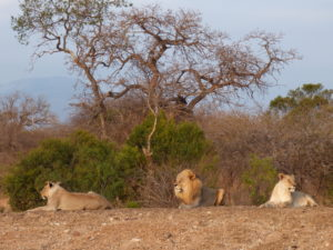 Safari in Sudafrica: i leoni