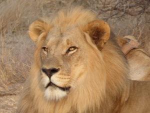Safari in Sudafrica: il re della foresta