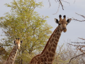 Safari in Sudafrica: le giraffe