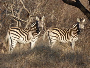 Safari in Sudafrica - le zebre