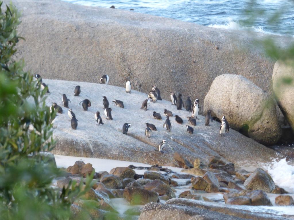 Boulders beach: dove vedere i pinguini in sudafrica